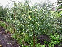 Яблоня на среднерослом подвое 54-118