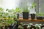 Лунный календарь огородника на февраль: посев рассады овощей и выгонка чеснока на зелень