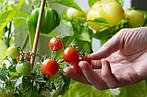 Помидоры в июне – это реально: как получить ранний урожай томатов