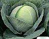 Семена капусты б/к Томас F1 2500 семян Bejo