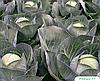Семена капусты б/к Риэкшин F1 2500 семян Bejo