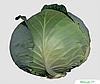 Семена капусты б/к Менди F1 2500 семян Bejo