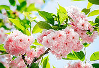 Фотообои бумажные на стену 366х254 см 8 листов:Цветы Сакуры 184х254