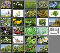 Лікарські рослини. Карточки односторонні. 27 шт.