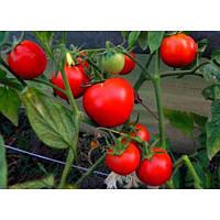 Яна - томат,1000 сем,,Наско NASKO