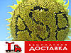 Семена подсолнечника Жалон (Агроспецпроект)