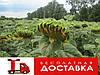 Насіння соняшнику Аламо (Агроспецпроект)