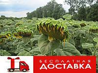 Семена подсолнечника Аламо (Агроспецпроект)
