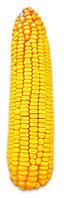 Семена кукурузы Соколов (АК Степова)