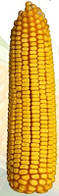 Семена кукурузы Днепровский 181 СВ (АК Степова)