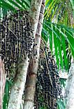 Ягоды асаи – мощный антиоксидант и уникальный витаминный коктейль, 100 табл., фото 7