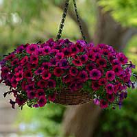Семена цветов Pan American +380661625277