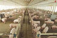 Свинокомплекс с которыми мы работаем по предстартерному комбикорму, БВМД и ЗЦМ для свиней