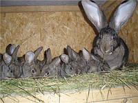 Как содержать и разводить кроликов.