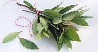 Лавровый лист (Лавр), ветка свежего листа, 50 гр