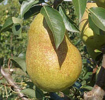 Саджанці осіннього сорту груші Рікс