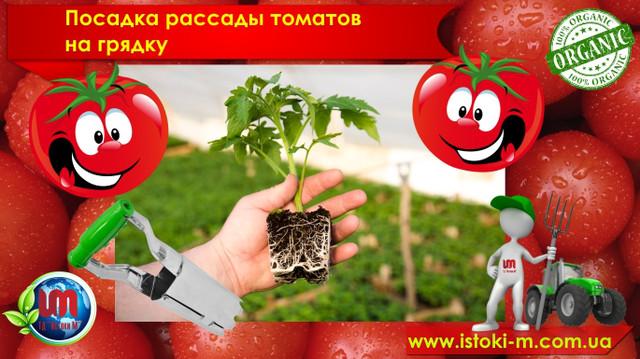 выращивание томатов_устройство для посадки рассады_органические удобрения для томатов