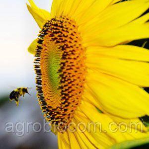 Семена подсолнечника НСХ-26752 (стандарт)