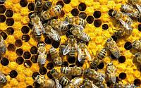 Клещ у пчёл. Как бороться?