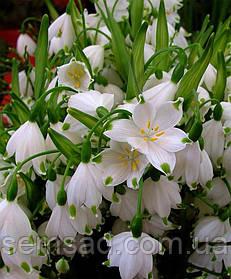 Белоцветник Весенний ( 15шт)
