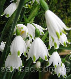 Белоцветник Весенний ( 25 шт)
