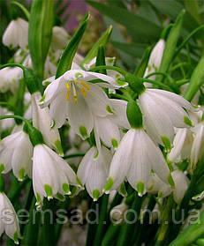Белоцветник Весенний ( 50 шт)