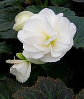 Begonia multiflora white, 1циб.