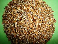 """Зерно пшеница черная (органика) 99% (200г) для проращивания ФГ """"Костив"""", фото 1"""