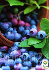 """Голубика (черника садовая) """"Шантеклер"""" (Chanticleer) (ранний срок созревания, высокоурожайный сорт) - Vesna-Agro в Одессе"""