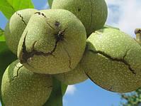 Рентабельність горіхового саду и доцільність сіянців горіха.
