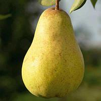 Саджанці груші Вільямс літній (Дюшес)