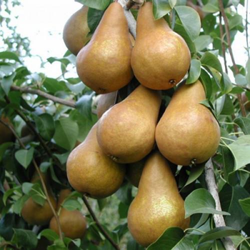 Саджанці груші Бере Боск (Бере Олександра)