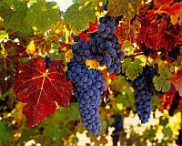 Користь винограду - французький парадокс