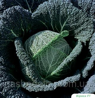 Семена капусты савойской Вироса F1 2500 семян Bejo