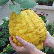 Цитрон Максима (Citrus medica Maxima) Комнатный