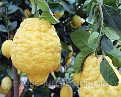 Цитрон Максима (Citrus medica Maxima) 30-35 см. Комнатный (ИТАЛИЯ)