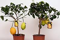 Цитрон 'Максима' 'Citrus medica Maxima' с ПЛОДАМИ 60-70 см., фото 1