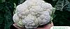 Семена цветной капусты Альтамира F1 2500 семян Bejo