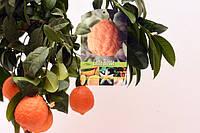 Лайм Россо / Красный лайм (Lima Rosso, Citrus Red Lime) Комнатный