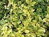 Жимолость японская \ Aureoreticulata