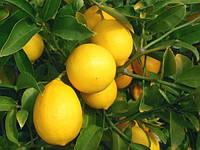 """Лимон """"Мейера"""""""