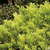 Можжевельник горизонтальный Лайм Глоу\Juniperus horizontalis Lime Glow (10-20см, контейнер)