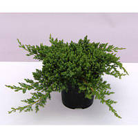 Можжевельник лежачий Нана\ Juniperus procumbens Nana(контейнер,10-15 см)