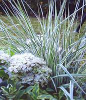 Вейник остроцветковый \ Calamagrostis acutifolia Overdam