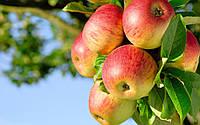 Саженцы яблони оптом от 100шт