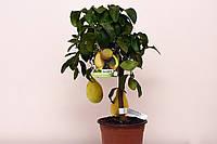 Лимон ´Pyriformis` Грушевидный с ПЛОДАМИ 60-70 см.