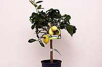 """Лимон """"Фемминелло Каррубаро"""" с ПЛОДАМИ 60-70 см."""