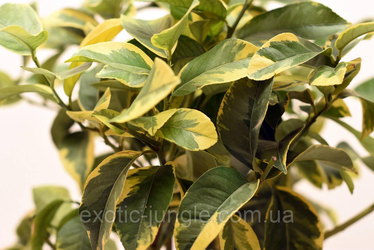 """Лимон Вариегатный (C.limon """"Foliis variegatis) до 20 см. Комнатный"""