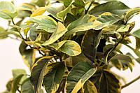 """Лимон Вариегатный (C.limon """"Foliis variegatis) до 20 см. Комнатный, фото 1"""