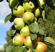 Саджанці колоновидної карликової яблуні Малюха